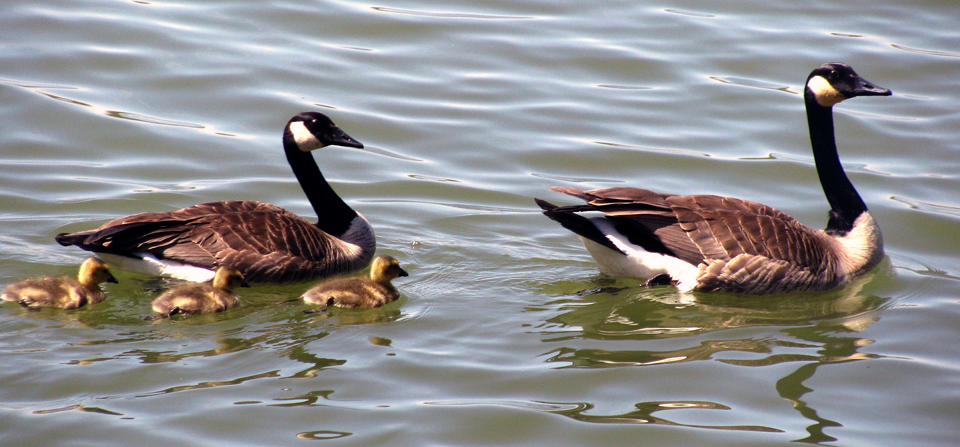 Geese and Baby Gosslings