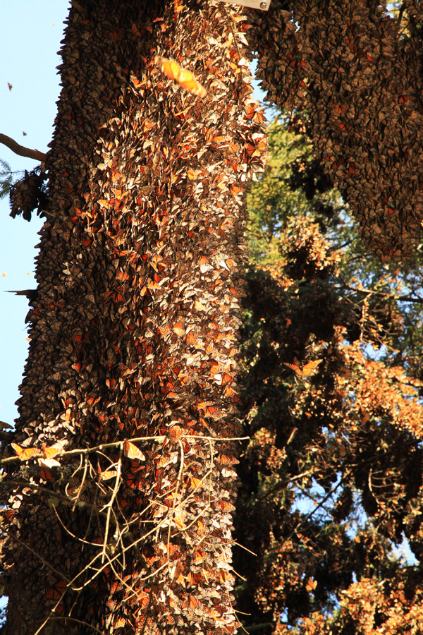 Monarch migration 2