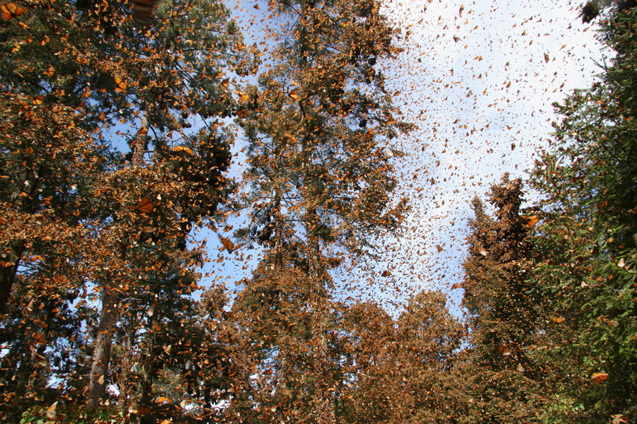 Monarch migration 3