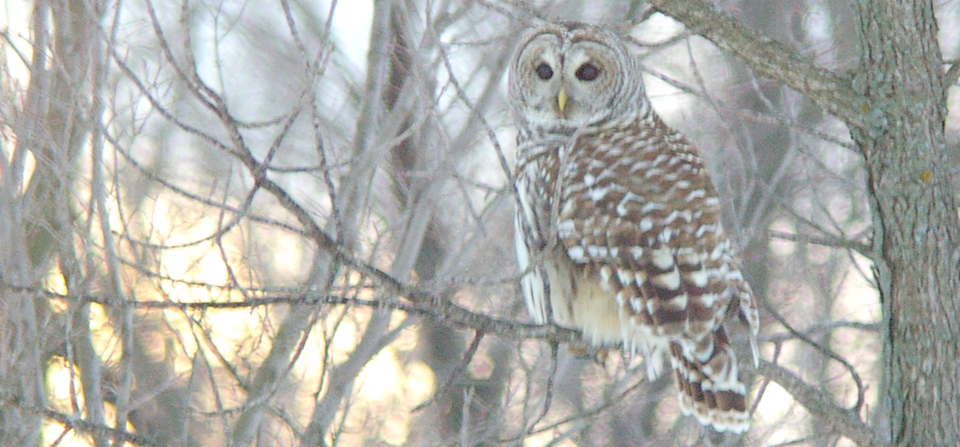 Owl at Lake Manawa