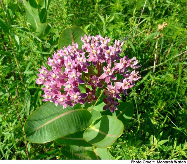 Sullivant's Milkweed (A. sullivantii)